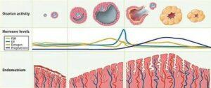 Perbedaan menstruasi dan ovulasi