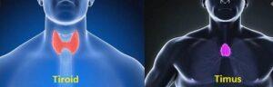 Perbedaan timus dan tiroid