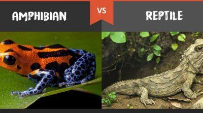 4 Perbedaan Amfibi dan Reptil