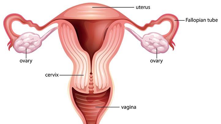 fungsi_uterus